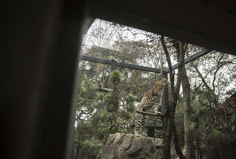 A leopard climbs onto a branch inside its enclosure at Hongshan Forest Zoo in Nanjing, Dec. 18, 2020. Courtesy of Guyu Lab