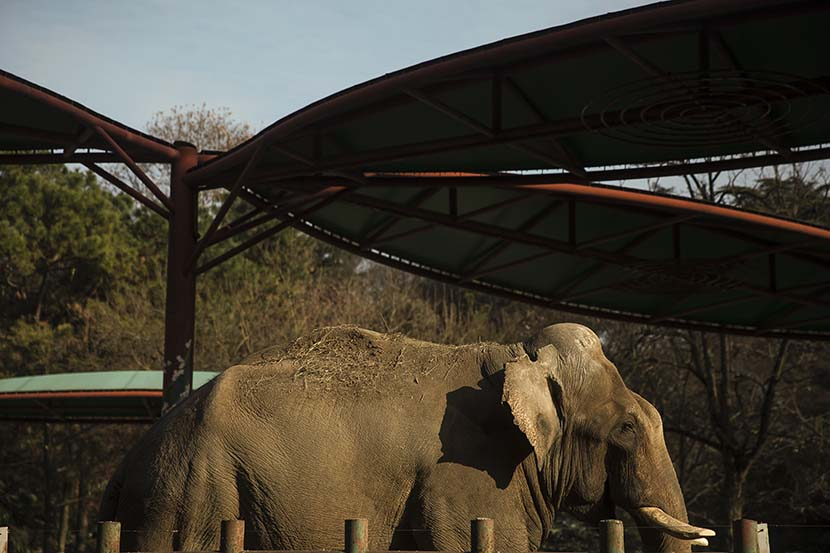 An elephant stands in its enclosure at Hongshan Forest Zoo in Nanjing, Dec. 17, 2020. Courtesy of Guyu Lab