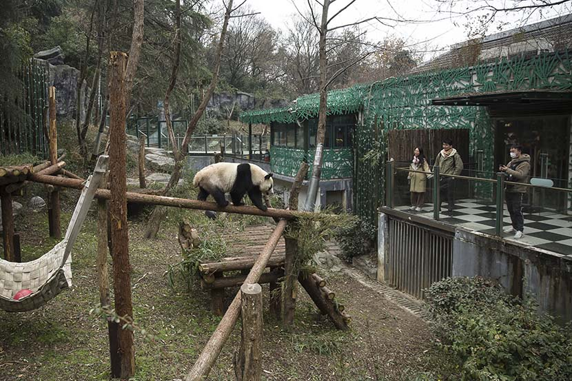 Visitors watch a panda walk around its enclosure at Hongshan Forest Zoo in Nanjing, Dec. 18, 2020. Courtesy of Guyu Lab