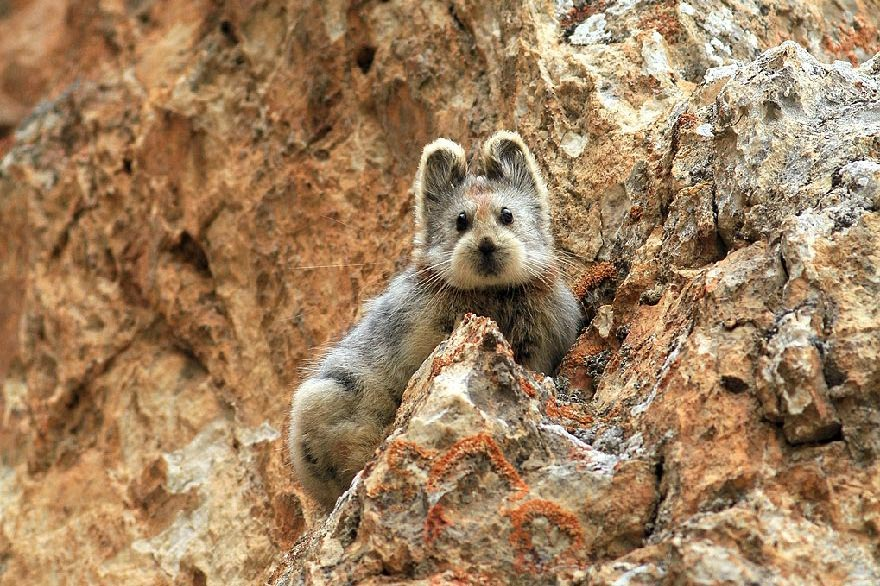 An Ili pika, photo taken by Li Weidong. From the website of the National Forestry and Grassland Administration