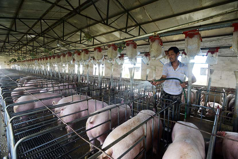 A famer hoses down a pig pen where waste is collected for power use in Zhengyang County, Henan province, July 7, 2015. IC