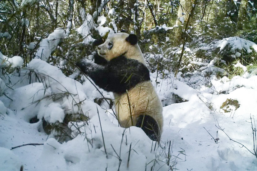 A wild panda plays in the snow at the Sichuan Wujiao Nature Reserve, Sichuan province, Dec. 24, 2020. From 勿角大熊猫自然保护区 on WeChat