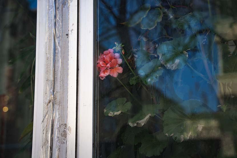A peony flower grows behind a window in Tonghua, Jilin province, Jan. 29, 2021. Pan Yi for Sixth Tone
