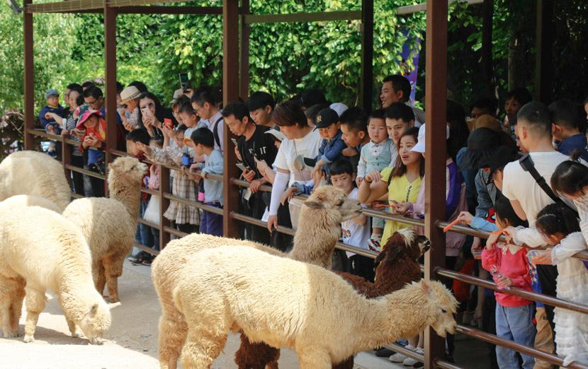 Visitors feed the alpacas at Hangzhou Safari Park, Hangzhou, Zhejiang province, May 2019. RayFoto/People Visual