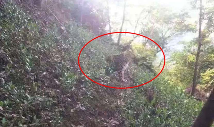 One of the escaped leopards photographed by a villager around 10 kilometers from Hangzhou Safari Park, Zhejiang province, May 8, 2021. From Weibo