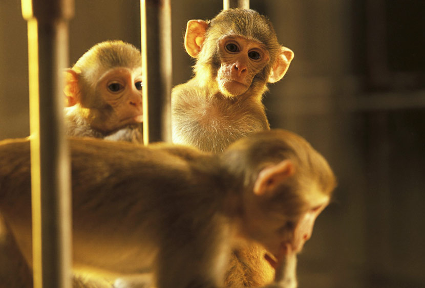 Three young rhesus monkeys in a cage at the New England Regional Primate Research Centre, Harvard Medical School, Massachusetts, U.S. IC