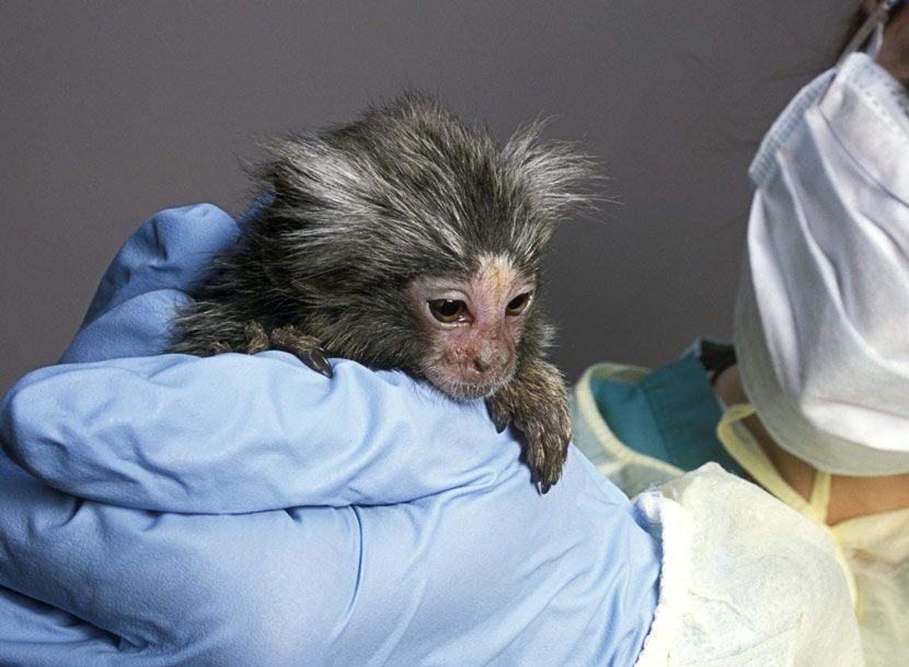 A researcher holds a baby marmoset at the New England Regional Primate Research Centre, Harvard Medical School, Massachusetts, U.S. IC