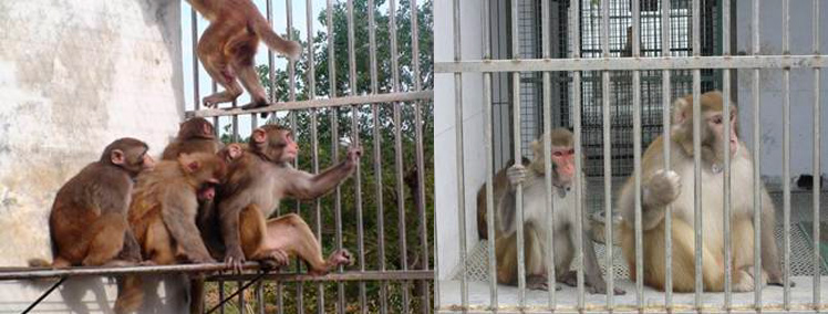Lab monkeys in cages in Wuhan, Hubei province. From the website of the Center for Animal Experiment/Animal Biosafety Level-III Laboratory