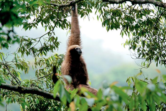 Partheno, a single female Skywalker hoolock gibbon, in Nankang, Gaoligong Mountains National Nature Reserve, Yunnan province. Courtesy of Li Jiahong