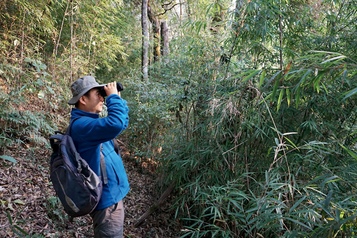 Fei Hanlan, a scholar at China West Normal University in Sichuan province, searches for Skywalker hoolock gibbons in the rainforests of Gaoligong Mountains National Nature Reserve, Yunnan province. Caixin