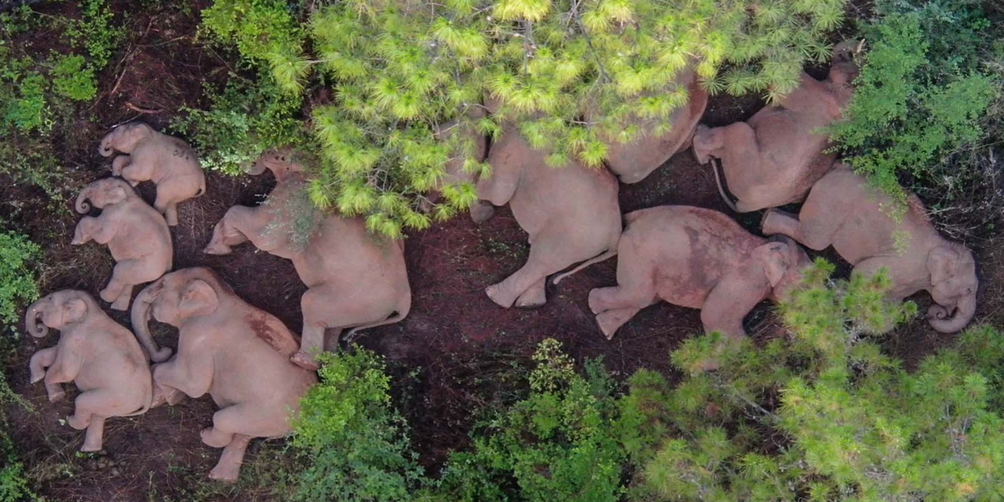Conservationists Try Guiding China's Wandering Elephants Home thumbnail