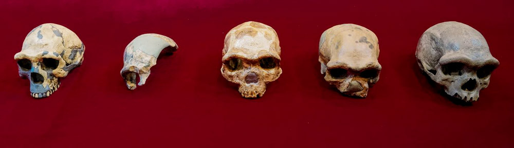 From left to right, a comparison of early human crania, namely Peking Man, Maba, Jinniushan, Dali, and Dragon Man. Courtesy of Kai Geng
