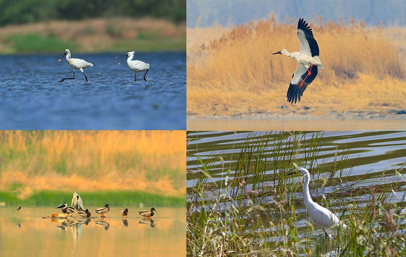 Species of birds that have been spotted at the Shahe Reservoir: Eurasian spoonbill (top-left); Oriental white stork (top-right); Mallard, Black-winged stilt and Grey heron (bottom-left); Little egret (bottom-right). Courtesy of Let Birds Fly