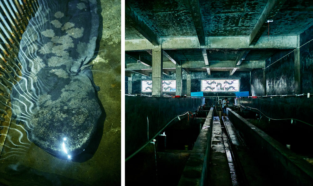 """A 50-year-old, 138cm-long male Chinese giant salamander called """"Hanhan"""" (left) lives in a hatchery operated by the Zhangjiajie Giant Salamander National Nature Reserve Management Bureau (right), Hunan province, September 2021. Wu Huiyuan/Sixth Tone"""