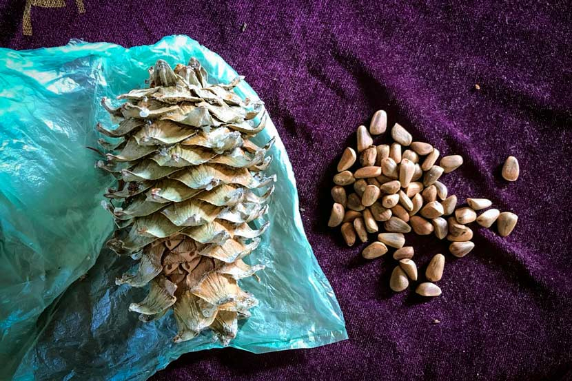 A pinecone and pine nuts are displayed in Lushuihe Village, Fusong County, Jilin province, October 2017. Shen Wendi for Sixth Tone