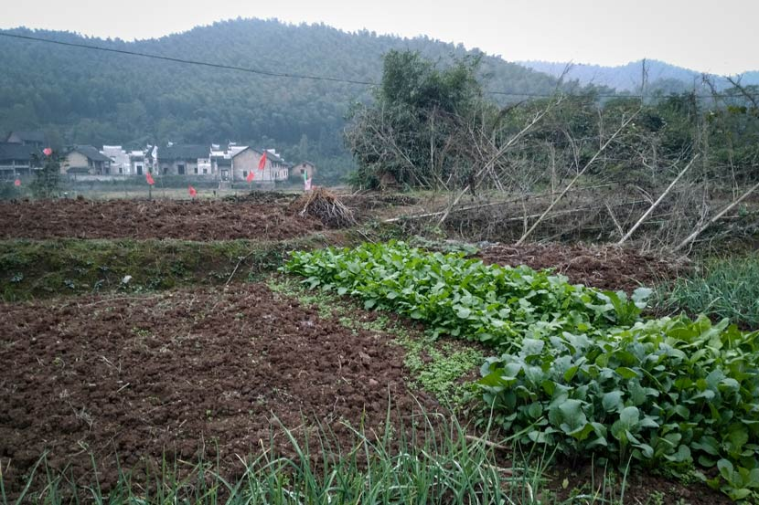 The vegetable field that Xiong Wumei's family tends in Yanchong Village, Hunan province, Nov. 14, 2017. Zhang Xiaolian for Sixth Tone