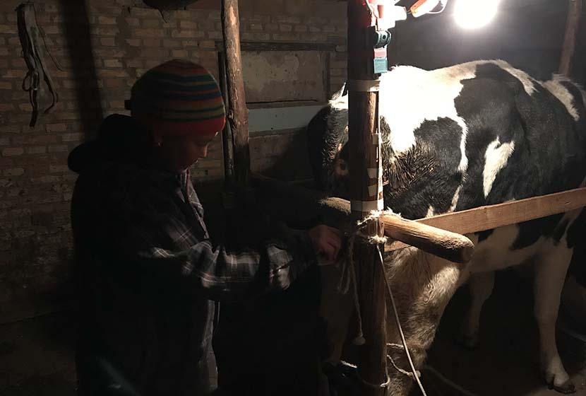 Naranchimeg prepares a cow for milking in Duhumu Village, Inner Mongolia Autonomous Region, Nov. 10, 2017. Colum Murphy/Sixth Tone