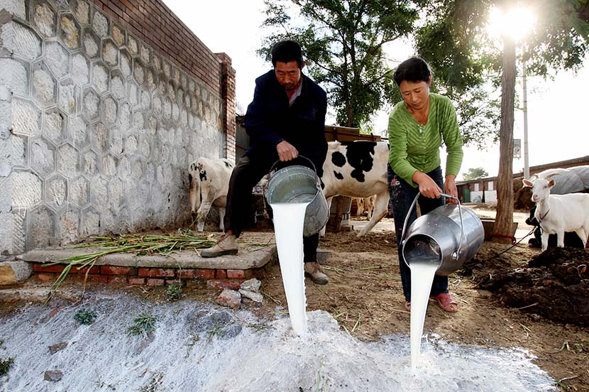A couple pours out milk rejected by milk collecting stations in Luan County, Hebei province, Sept. 23, 2008. Farmers in Hebei lost tens of thousands of yuan a day on cattle feed when much of the dairy industry was brought to a halt after the 2008 milk scandal. Guo Tieliu/VCG