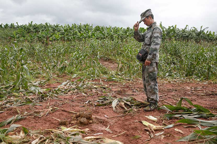 A surveyor inspects the feces left by a group of wild elephants on the trampled corn field in Jiangcheng County, Yunnan province, June 24, 2014. VCG